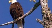 Restawhile-bald-eagle1
